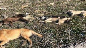 Ankara'da 4 köpek daha zehirlenerek telef edildi
