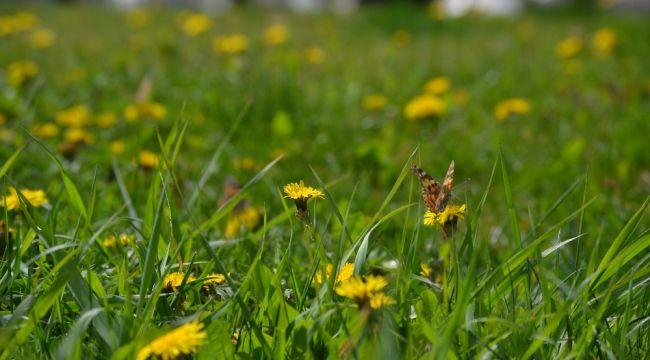 Diken kelebekleri doğaya renk katıyor