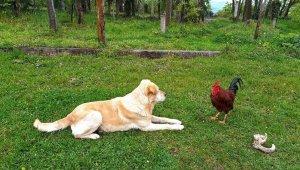 Horoz, köpeğe böyle kafa tuttu