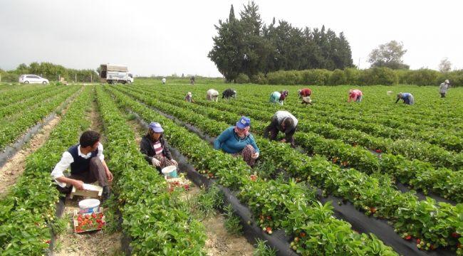Mersin'de açıkta çilek hasadı başladı, Rusya talebi arttırdı