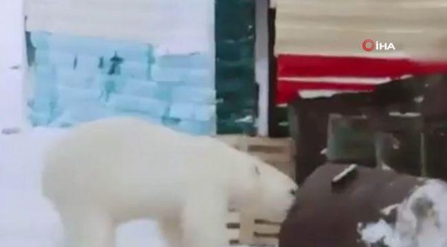 Rusya'da aç kalan ayı şehre indi