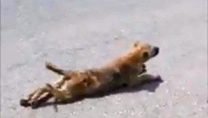 Sakat taklidi yapan köpek görenleri güldürdü