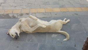 Sokak köpeği uyuma şekli ile dikkat çekiyor