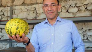 Urla'da kavun festivali yarın başlıyor