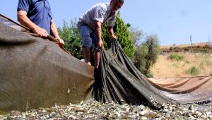 DSİ İzmir'den balık bereketi