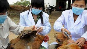 Çin'de kuş gribi salgını görüldü: 17 bin kanatlı hayvan itlaf edildi
