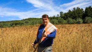 Karakılçık Buğday hasadı başladı
