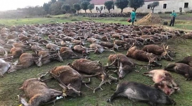 Portekiz'de katliam: 540 vahşi geyik iki günde öldürüldü