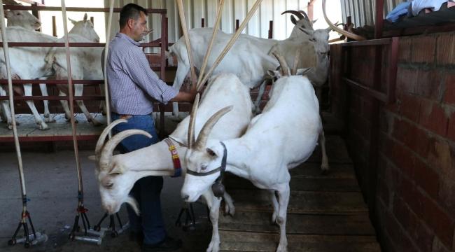 Çanakkale Birlik Küçükbaş Hayvan Sütünde Tavsiye Fiyatı Açıkladı