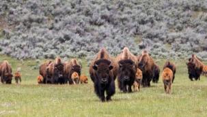400 bizonu öldürecek gönüllüler aranıyor