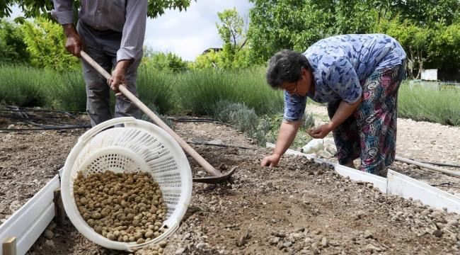 Buca kırsalında salep kalkınması: Kilogramı 750 TL'yi bulan salep Buca'da üretilecek